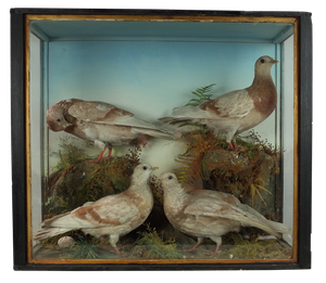 Four Taxidermy Doves in Glass Case