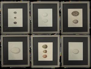 Set of Six Hand Coloured Egg Engravings