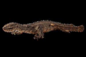 Taxidermy Lizard