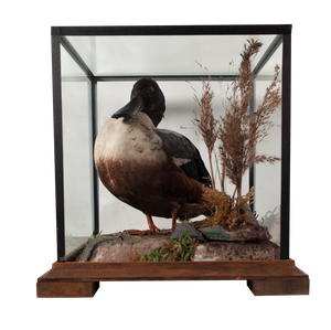 Mounted Taxidermy Shoveller Duck in Glass Case
