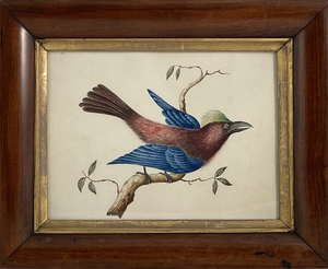 Watercolour Study of a Bird of Paradise set in a Maple and Gilt Frame