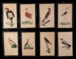 Eight Hand Coloured Bird Prints