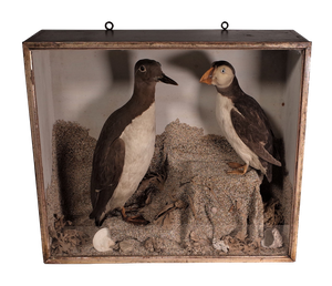 Victorian Cased Mounted Taxidermy Puffin and Guilemot