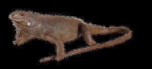 Taxidermy Iguana